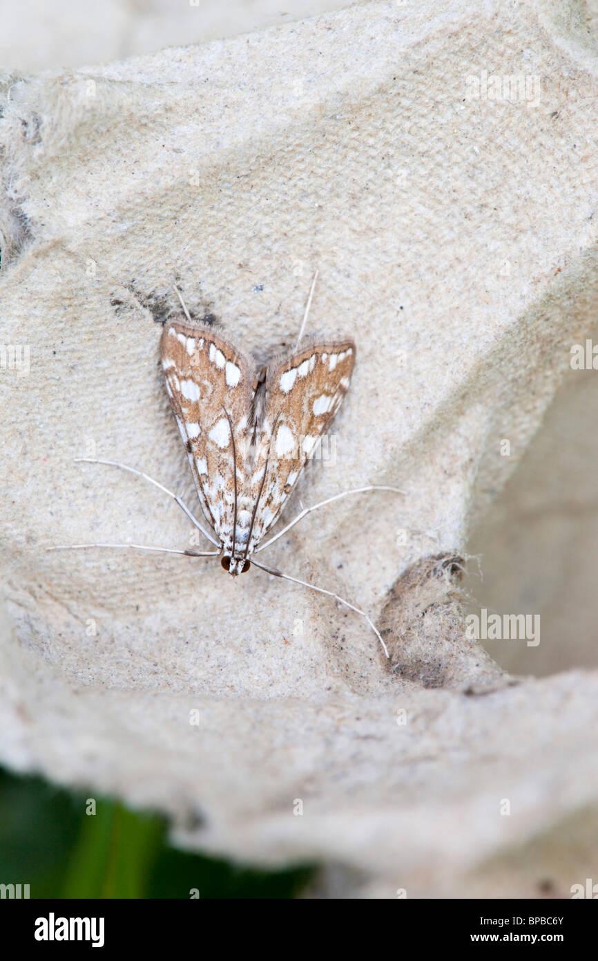 Brown China marca; polilla Elophila nymphaeata; Imagen De Stock