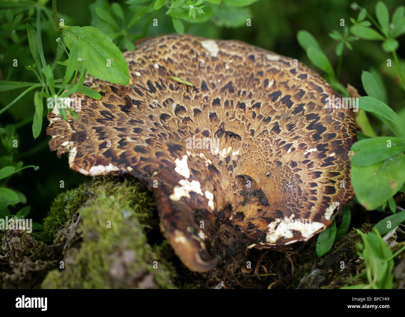 Caballete de las dríadas o escamosas, Polypore Polyporus squamosus, Polyporaceae. Soporte hongo. Imagen De Stock