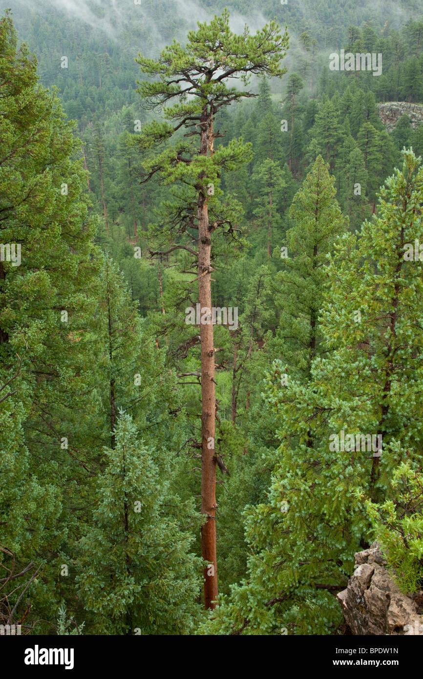 Tall viejo crecimiento del pino Ponderosa, creciendo en el Bosque Nacional Coconino, Flagstaff, Arizona, EE.UU. Foto de stock