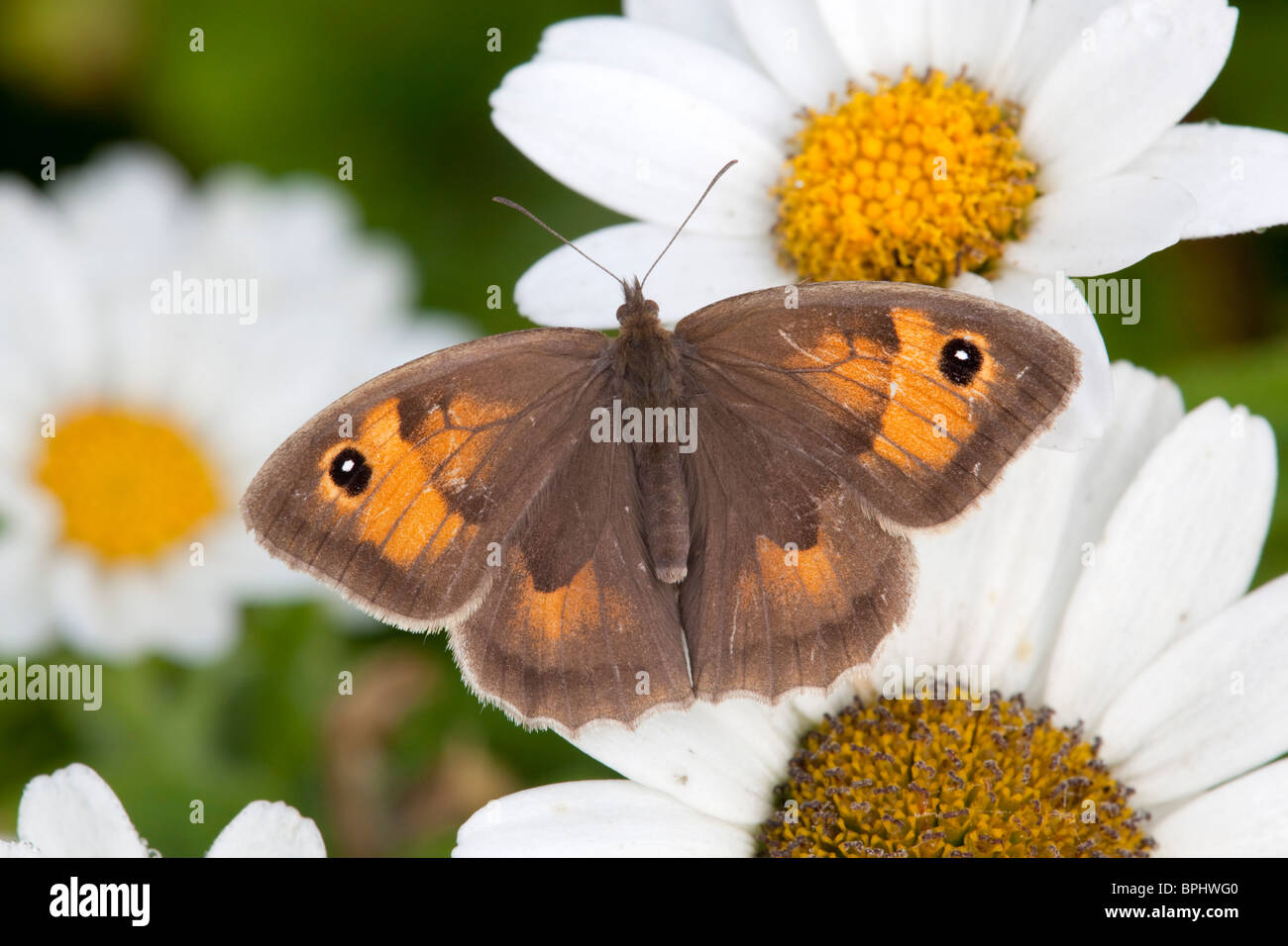 Meadow Brown; Maniola jurtina mariposas hembra; Imagen De Stock