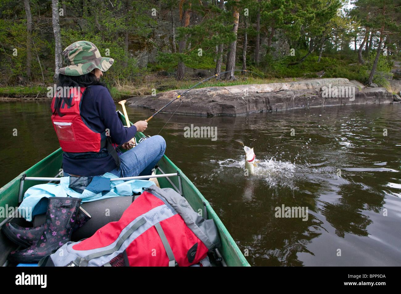 Manejo de una chica del norte de Pike, Esox lucius, capturados en el lago Vansjø, Østfold fylke, Noruega. Imagen De Stock