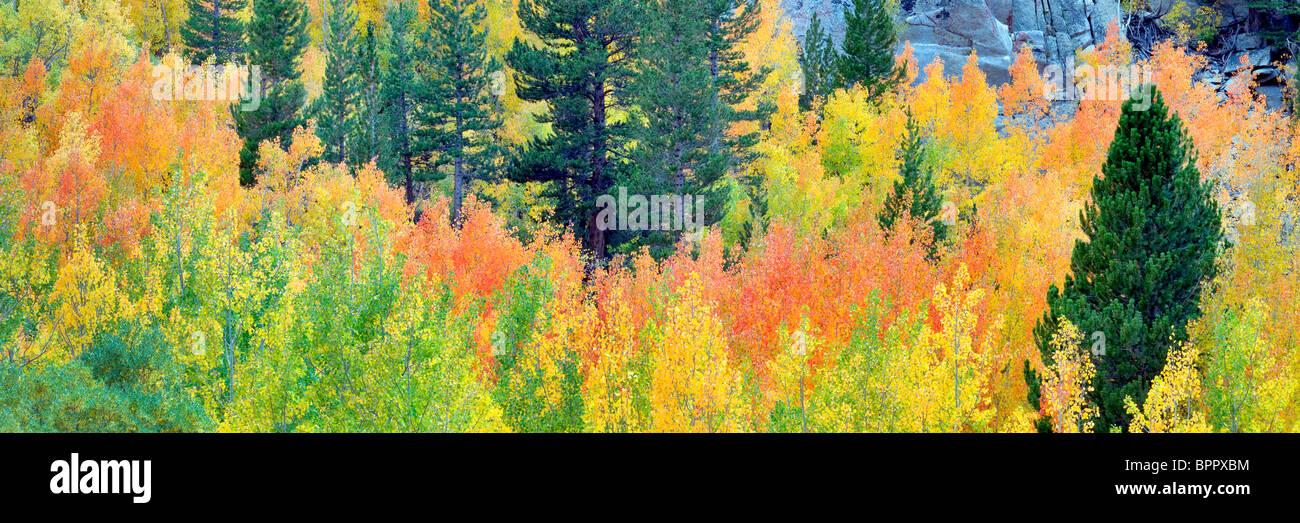 Bosque mixto de álamos en otoño colores y abetos. El Bosque Nacional Inyo. California Imagen De Stock