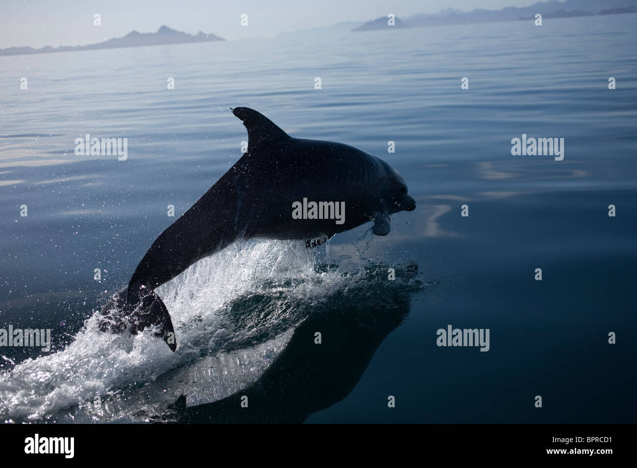 Un delfín salta en la bahía, cerca de la ciudad de Loreto en el mexicano estado de Baja California Sur Imagen De Stock
