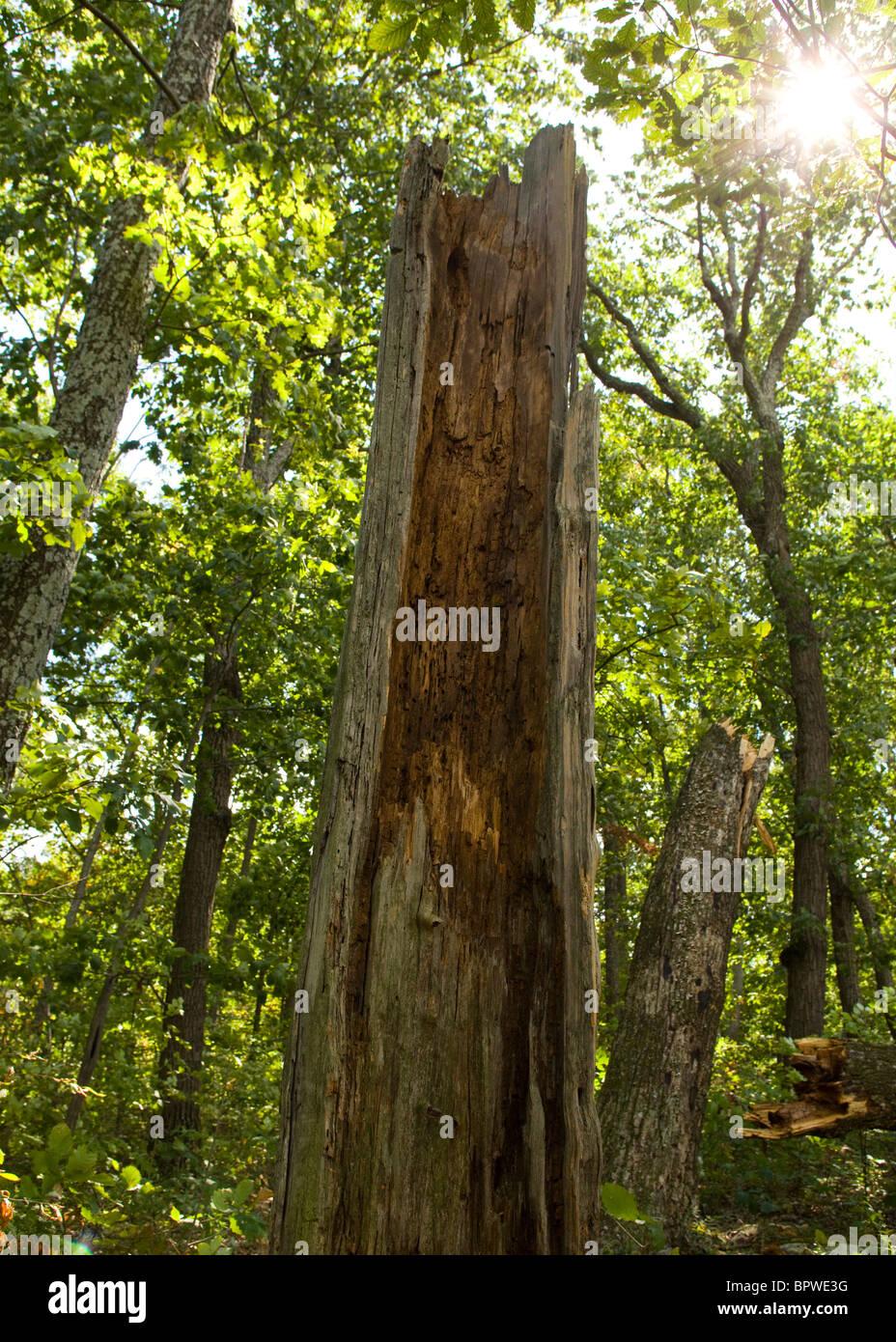 Tronco de árbol de descomposición Imagen De Stock