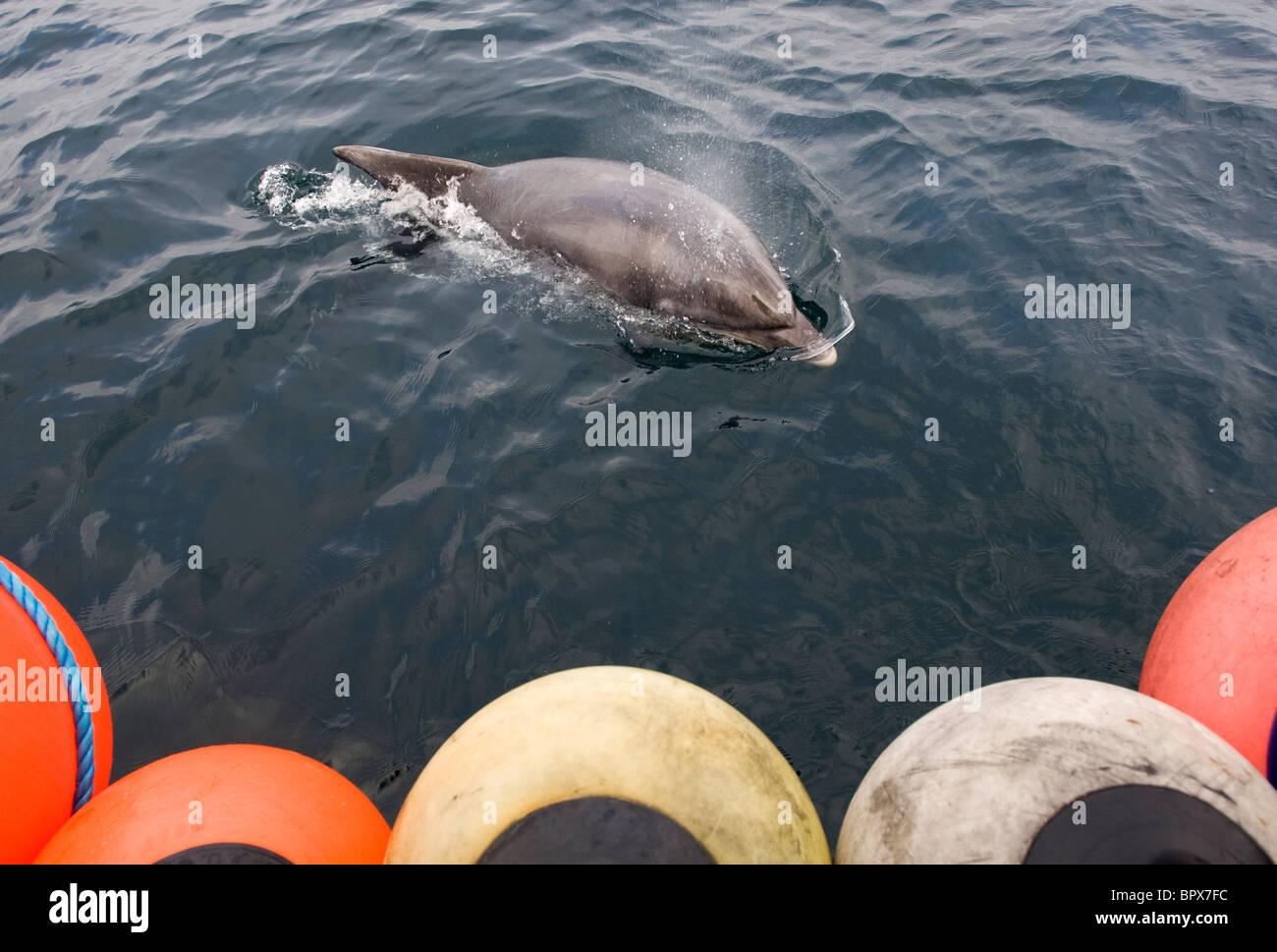 Un Delfín Mular nadar junto a un pequeño barco en el Atlántico, a 10 millas al noroeste de Hayle, Cornwall. Foto de stock