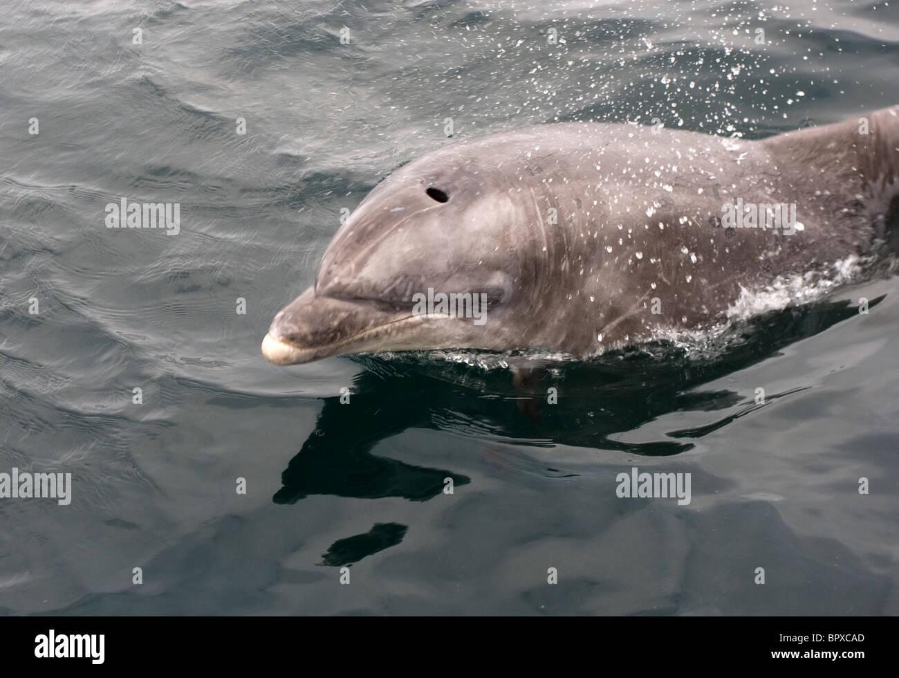 Un Delfín Mular nadar en el Atlántico, a 10 millas al noroeste de Hayle, Cornwall. Foto de stock