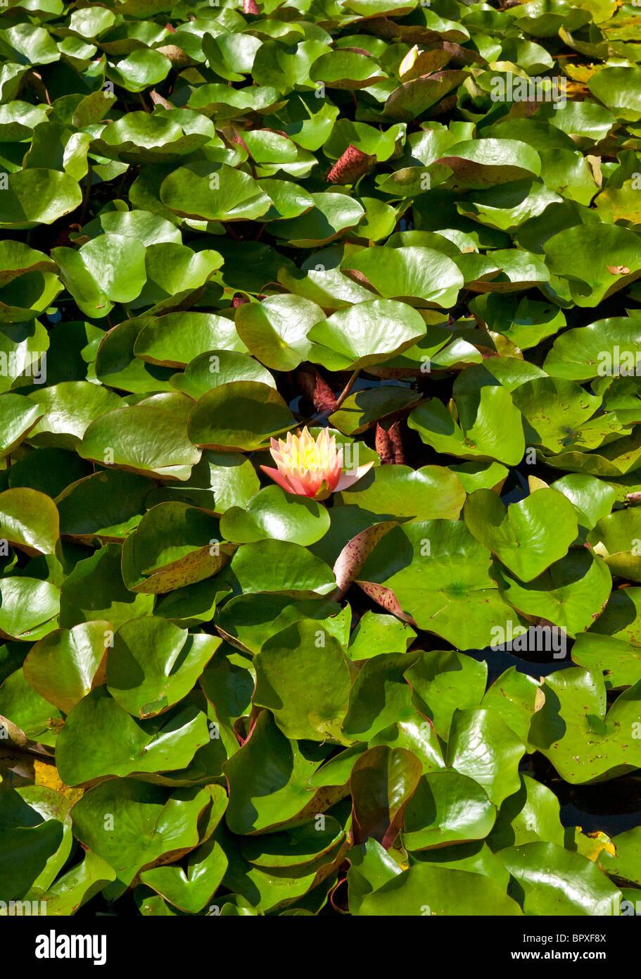 Floración de agua en un jardín acuático de Lilly. Imagen De Stock