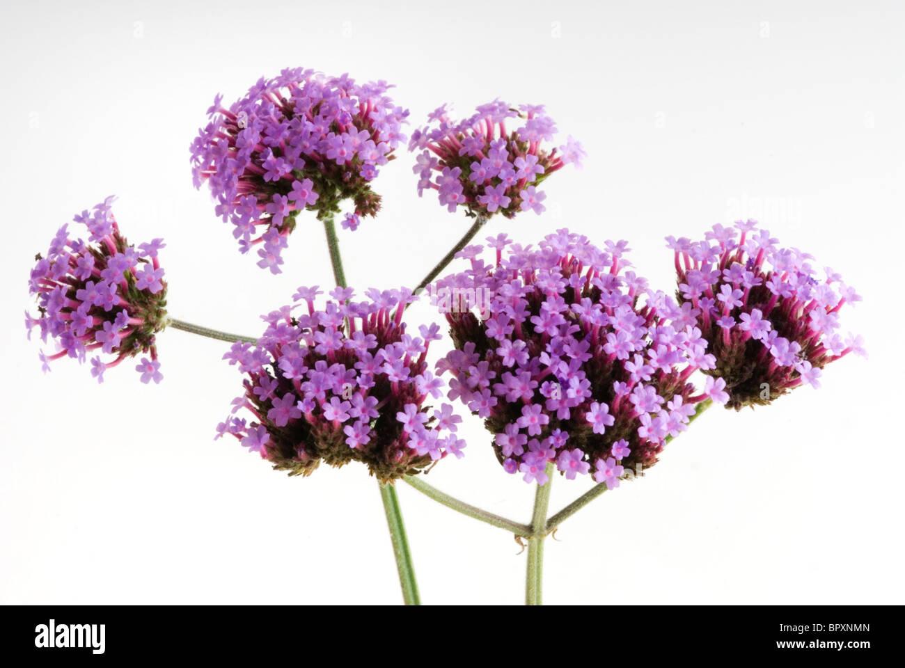 Verbena bonariensis, verbena patagonica Foto de stock