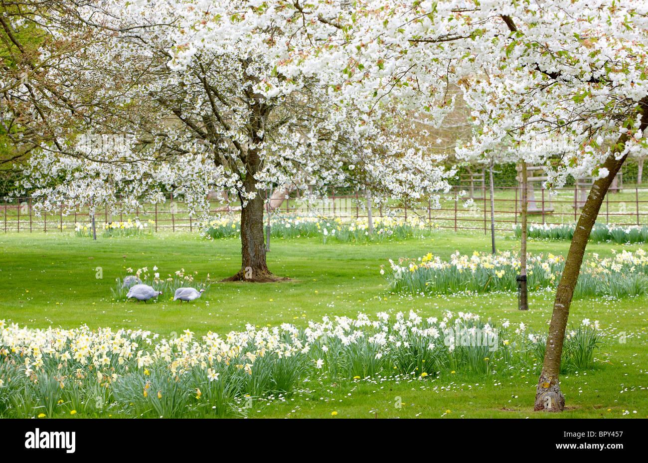Blanco cereza flor narcisos jardín guinea aves Foto de stock