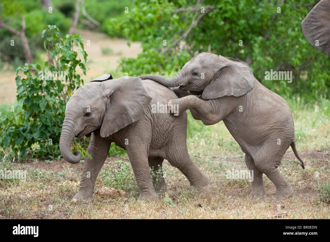 Bebé jugando el elefante africano (Loxodonta africana africana), la Reserva de Caza de Mashatu, Tuli Block, Imagen De Stock