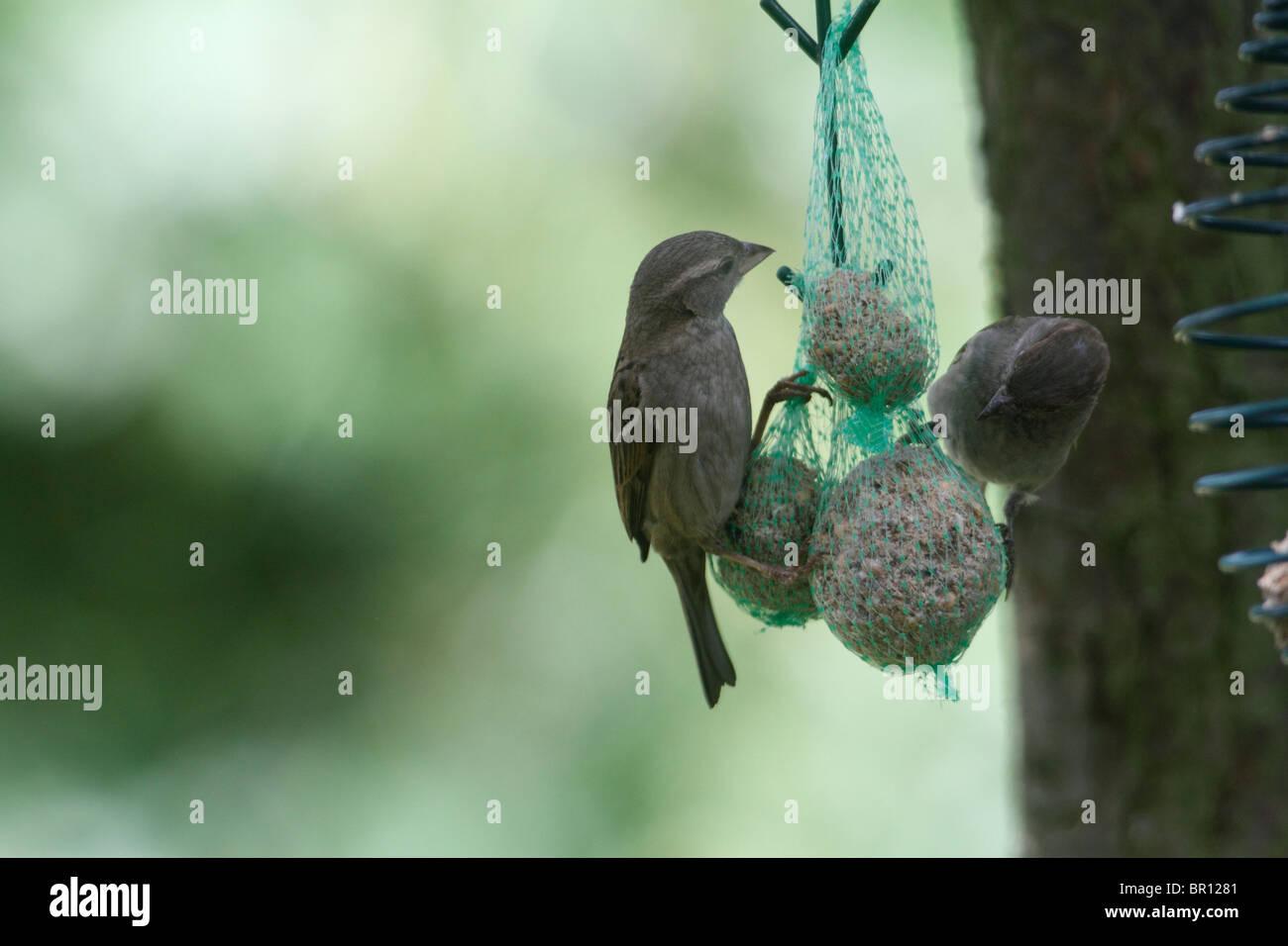 Hembra Passer domesticus gorrión, alimentándose de una bola de grasa alimentador en un jardín interno Foto de stock