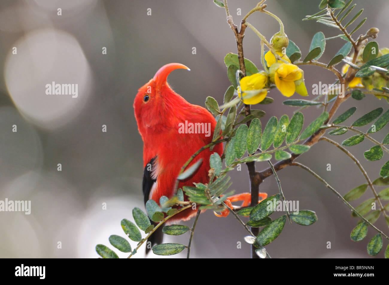 'I'iwi bird - Honeycreeper hawaiano - extracción de néctar, Maui, Hawai, las islas Hawaii, EEUU. Imagen De Stock