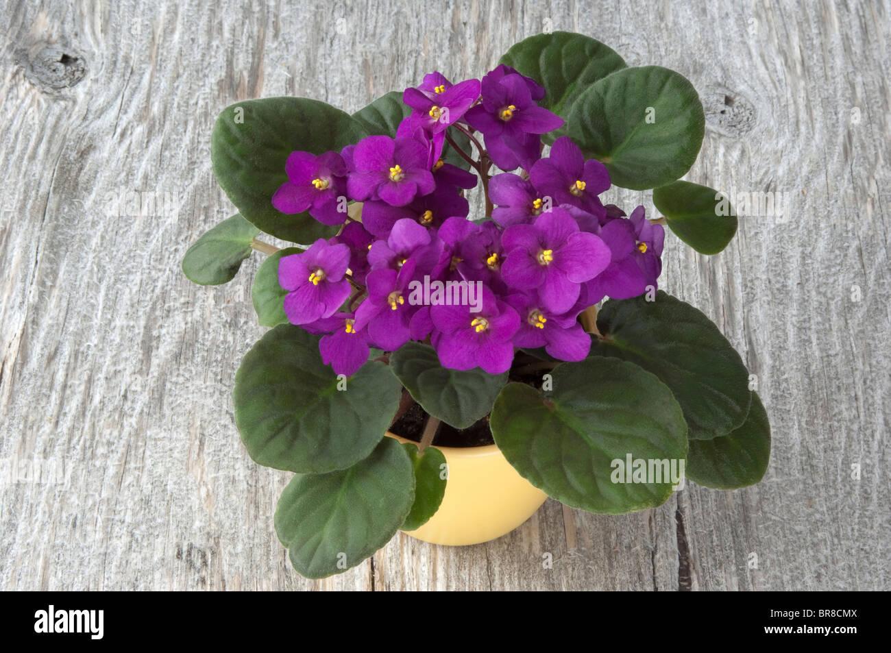 Saintpaulia, violeta Africana (Saintpaulia ionantha-híbrido), planta en maceta con flores púrpura sobre madera. Foto de stock