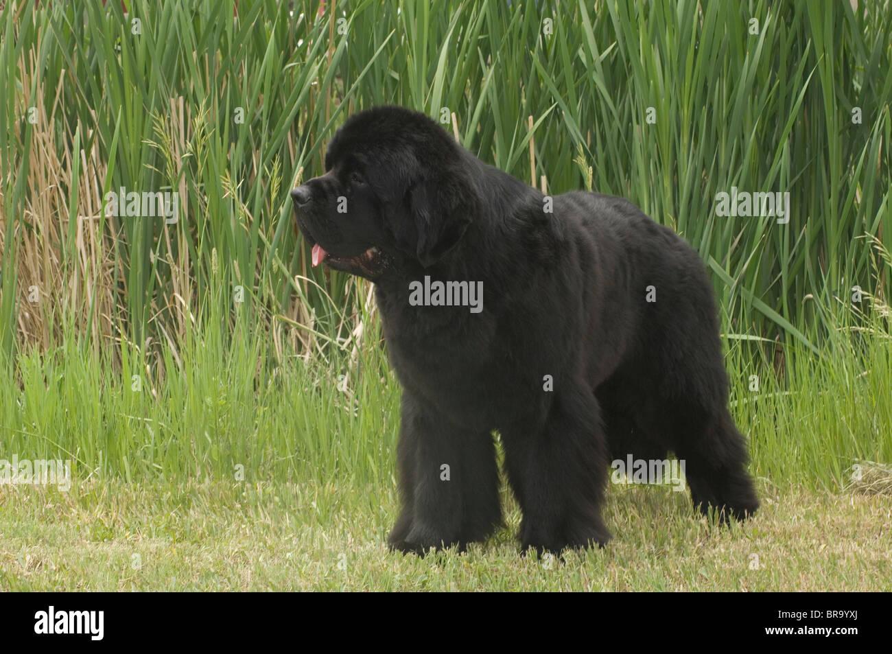 Perro Terranova negro de pie en la pasto verde Imagen De Stock