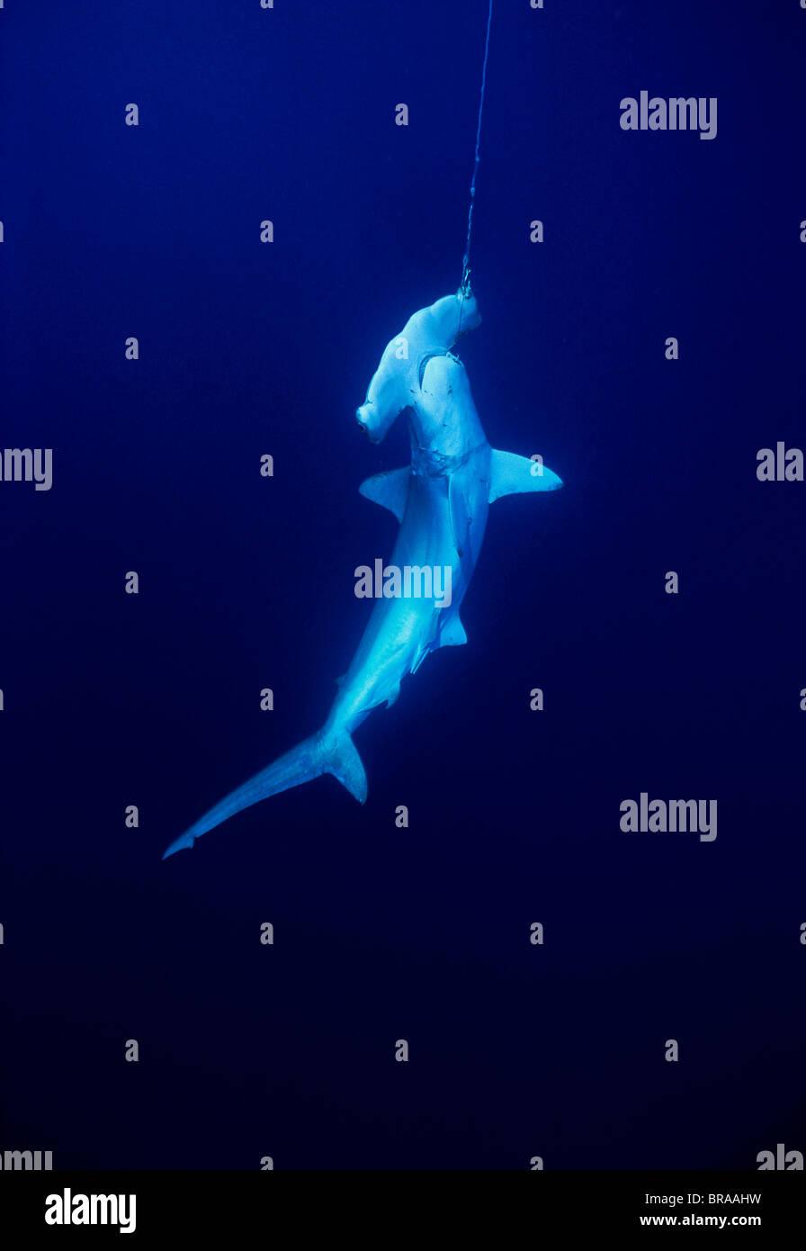 Vivir tiburón martillo (Sphyrna lewini) {Sphryna lewini} Caught on Long-line de aparejos de pesca, Islas Cocos Imagen De Stock