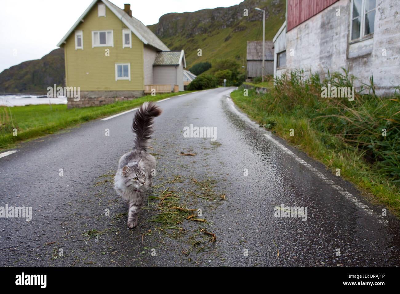 Gato doméstico que vive en la pequeña comunidad en la isla Goksøyr Runde en la costa oeste de Noruega. Imagen De Stock