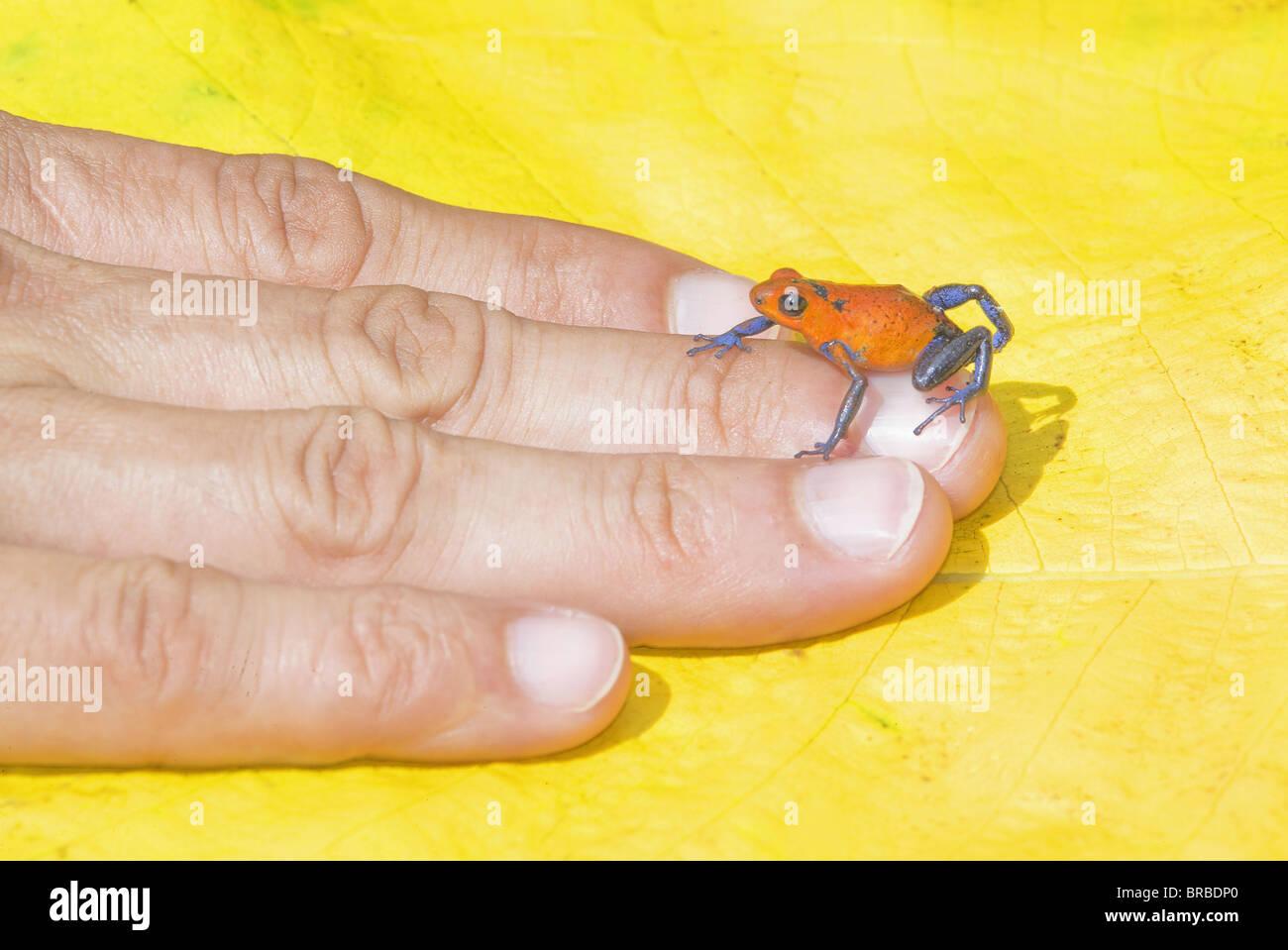 Blue jeans sapo dardo (Dendrobates pumilio) en la mano humana, Costa Rica, Centroamérica Imagen De Stock