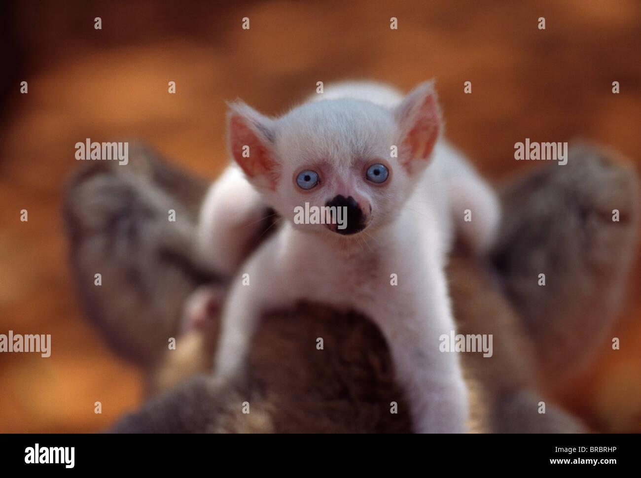 Lémur de cola anillada (Lemur catta), todo bebé blanco macho albino (zafiro) sobre la madre de la espalda, Imagen De Stock