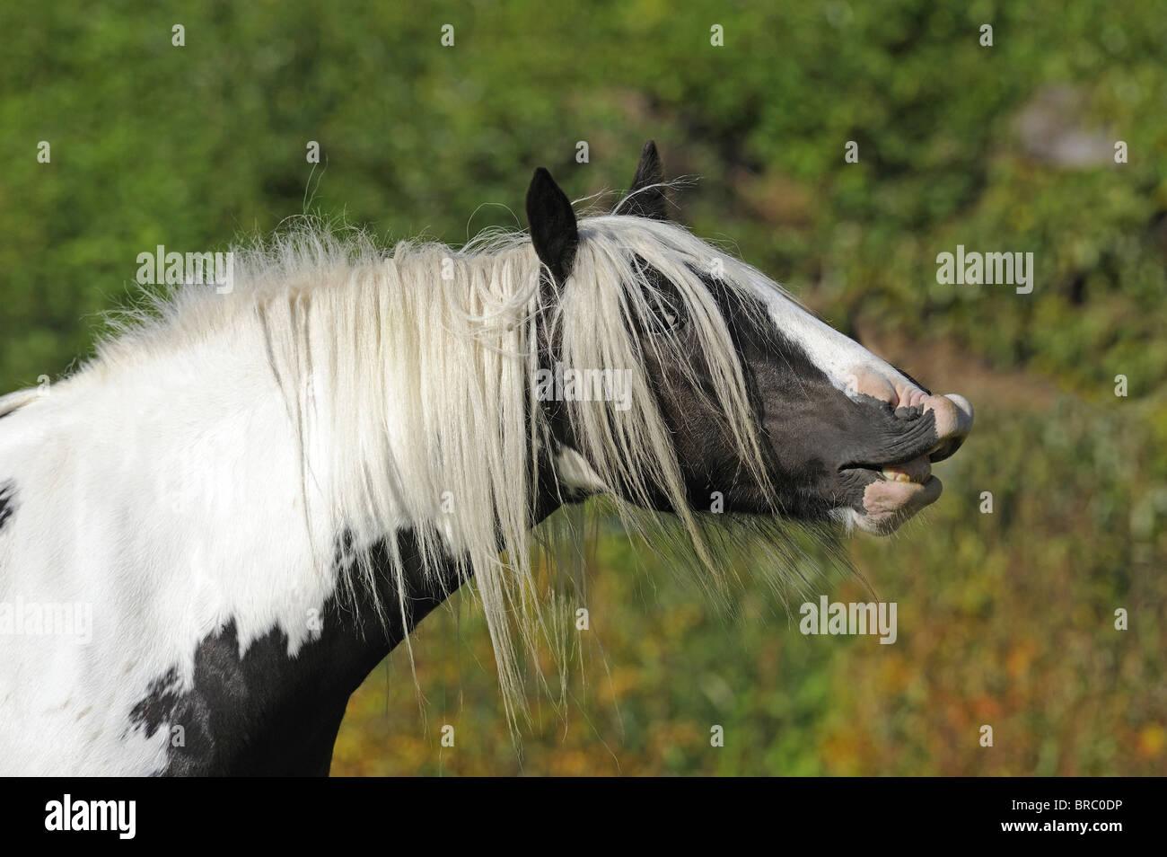 Gypsy Vanner caballo (Equus ferus caballus), Mare haciendo el flehmen. Imagen De Stock