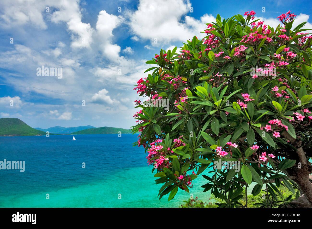 Plumeria en flor y velero pequeña isla frente a San Juan. Islas Vírgenes de los Estados Unidos. Parque Nacional de las Islas Vírgenes. Foto de stock