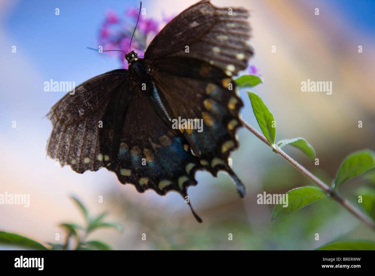 Mariposa Negra flotando sobre un arbusto mariposa púrpura, con fondo azul. Foto de stock