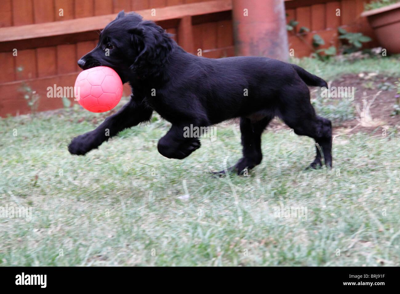 Cachorro Cocker Spaniel negro Foto de stock