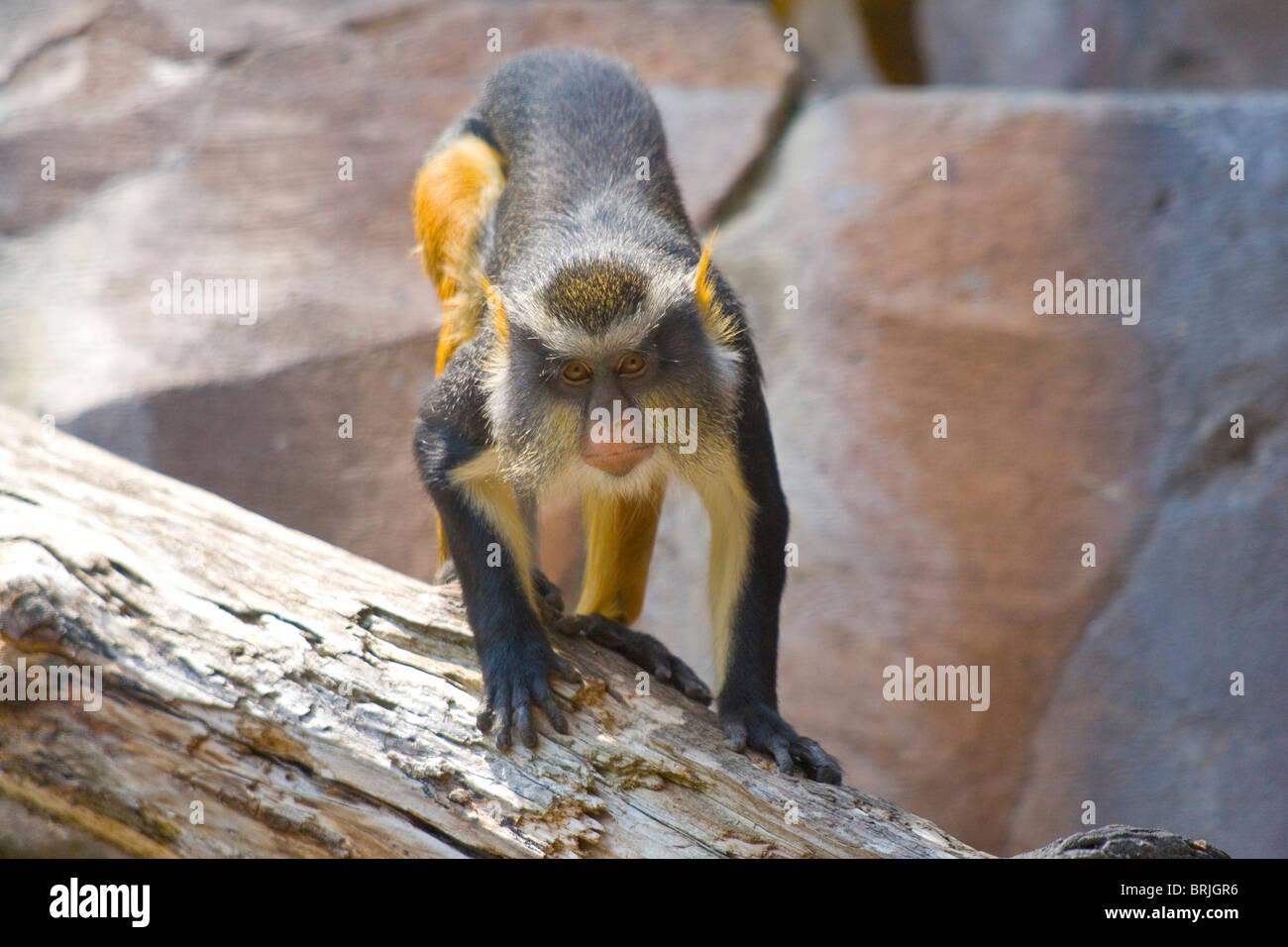 Henry Doorly Zoo - Wolf's Mona mono Imagen De Stock