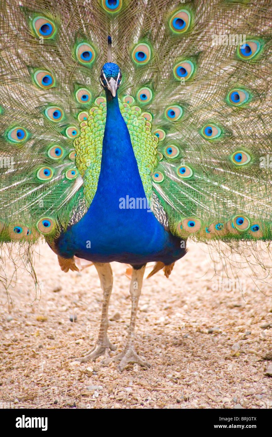 Henry Doorly Zoo - peacock en el Zoológico de contacto Foto de stock