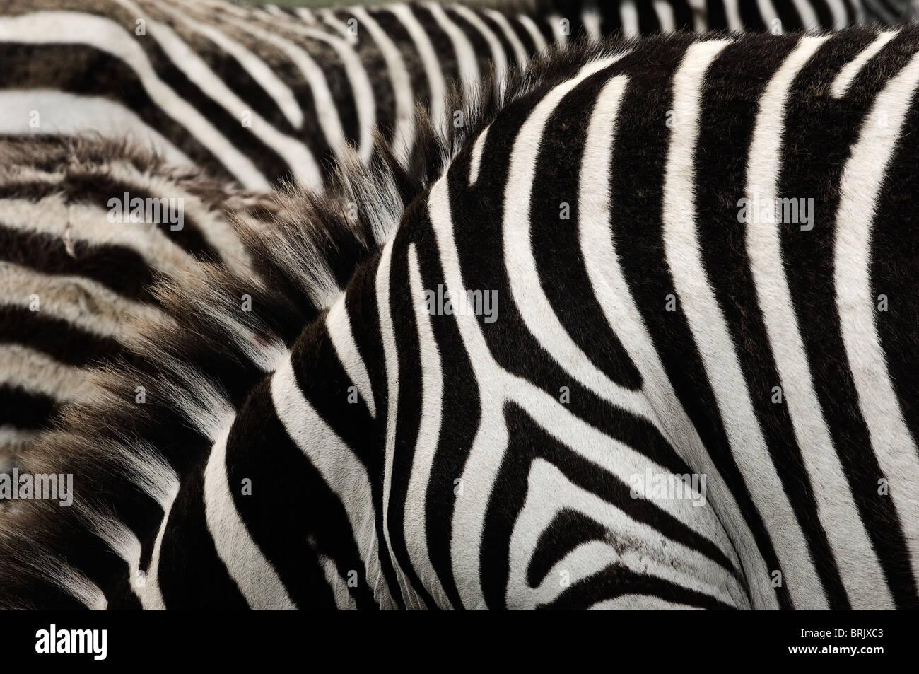 Rayas de la cebra. Imagen De Stock