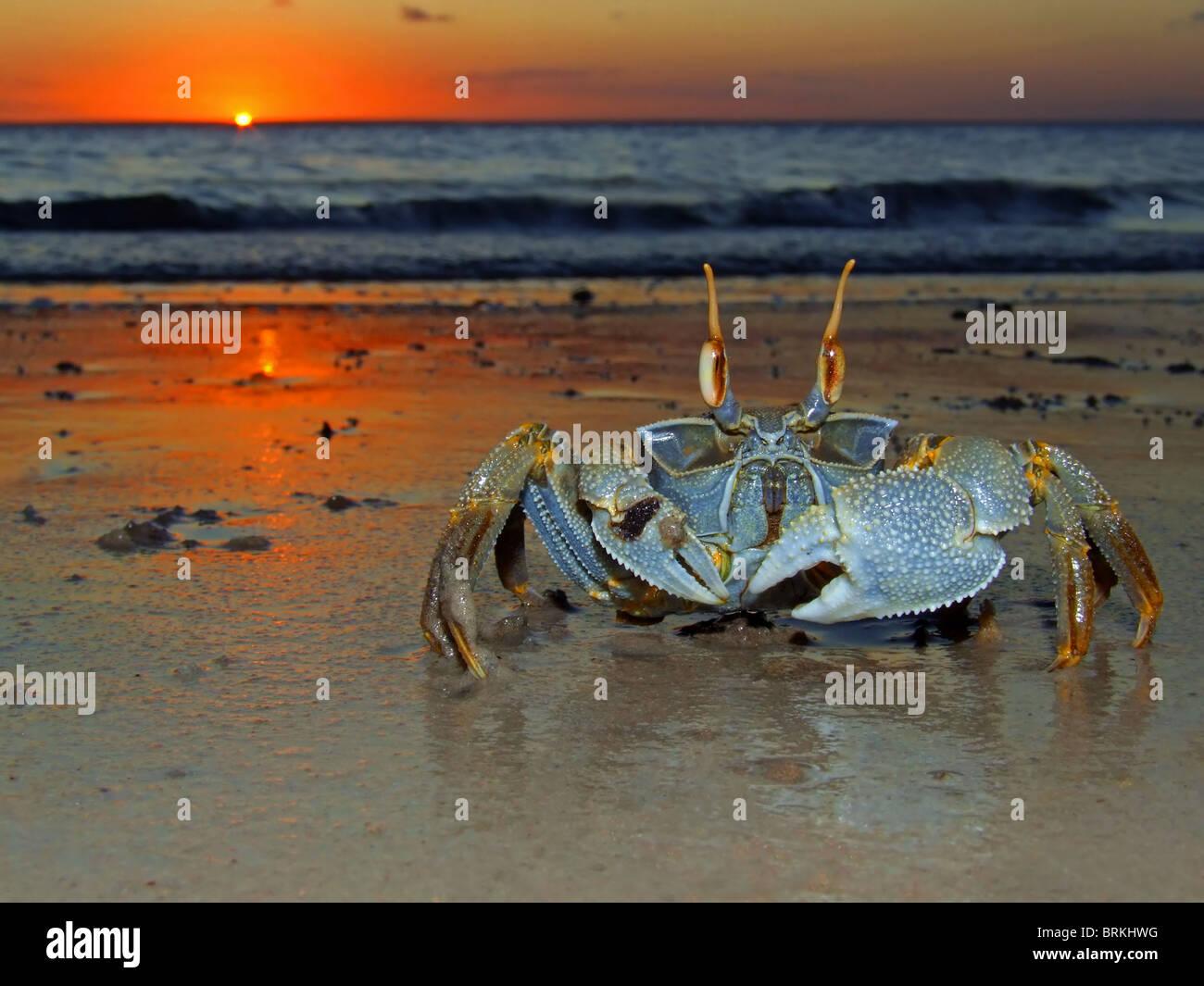 Cangrejo fantasma (Ocypode sp.) en la playa al anochecer, Mozambique, África del Sur Imagen De Stock