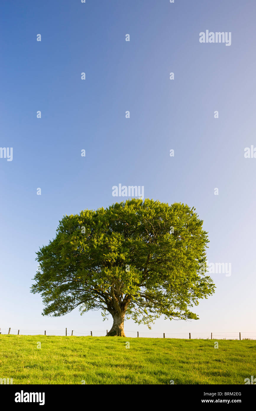 Solo árbol contra un cielo azul, a mediados de Devon, Inglaterra. Verano (Junio) de 2009. Foto de stock