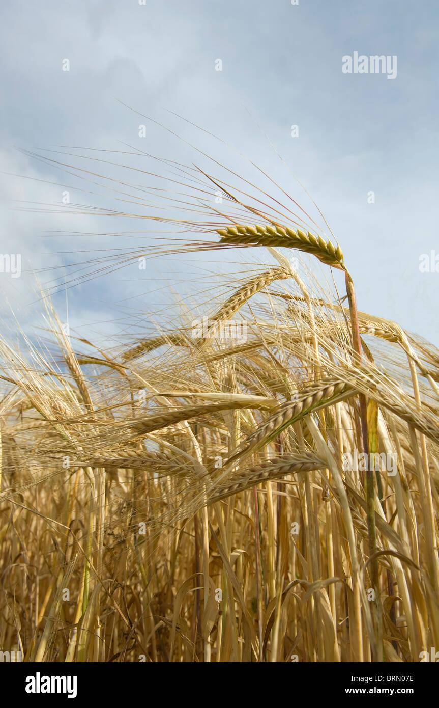 Campo de la maduración de la cebada Imagen De Stock