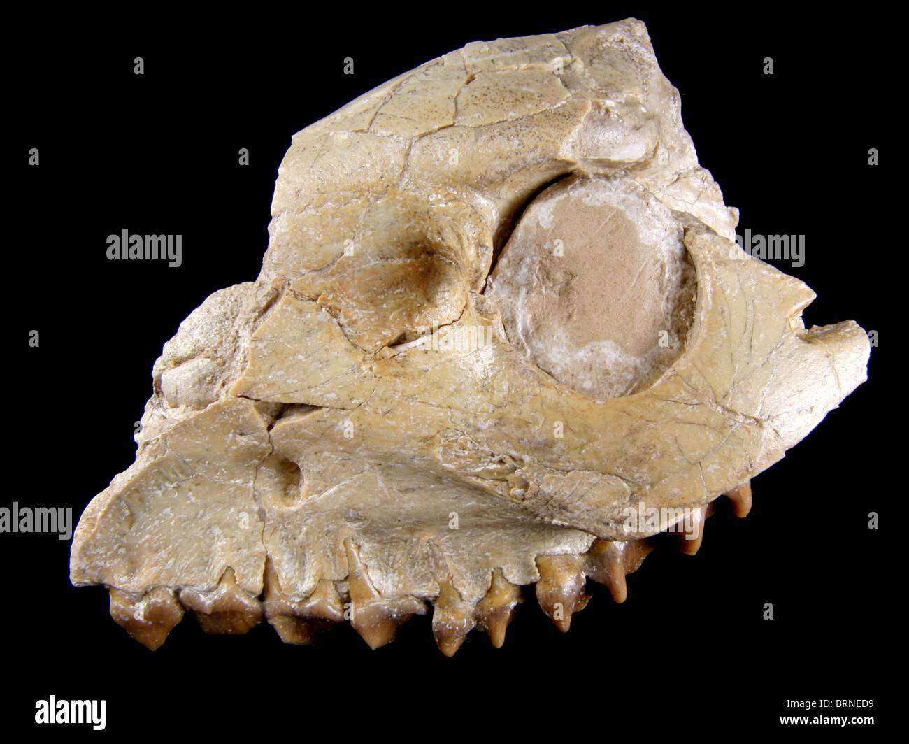 Merycoidodon sp. Cráneo y mandíbula (Sección de extinción 'Oreodont'), 32 millones de años, recopilados a partir de Lusk, Wyoming Foto de stock