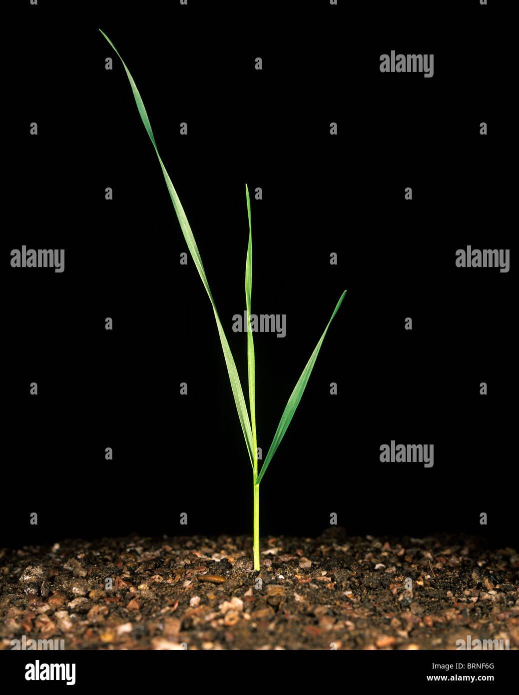 Plántulas de trigo con tres hojas en la etapa 13 Imagen De Stock