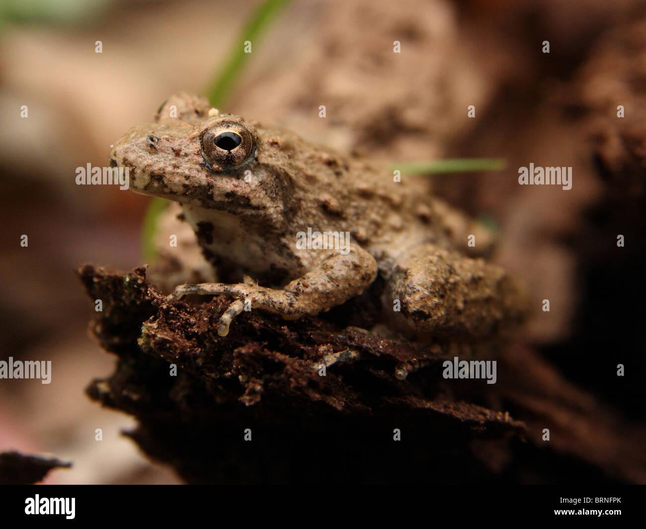 Blanchard's Cricket sapo (Acris crepitans blanchardi) Foto de stock
