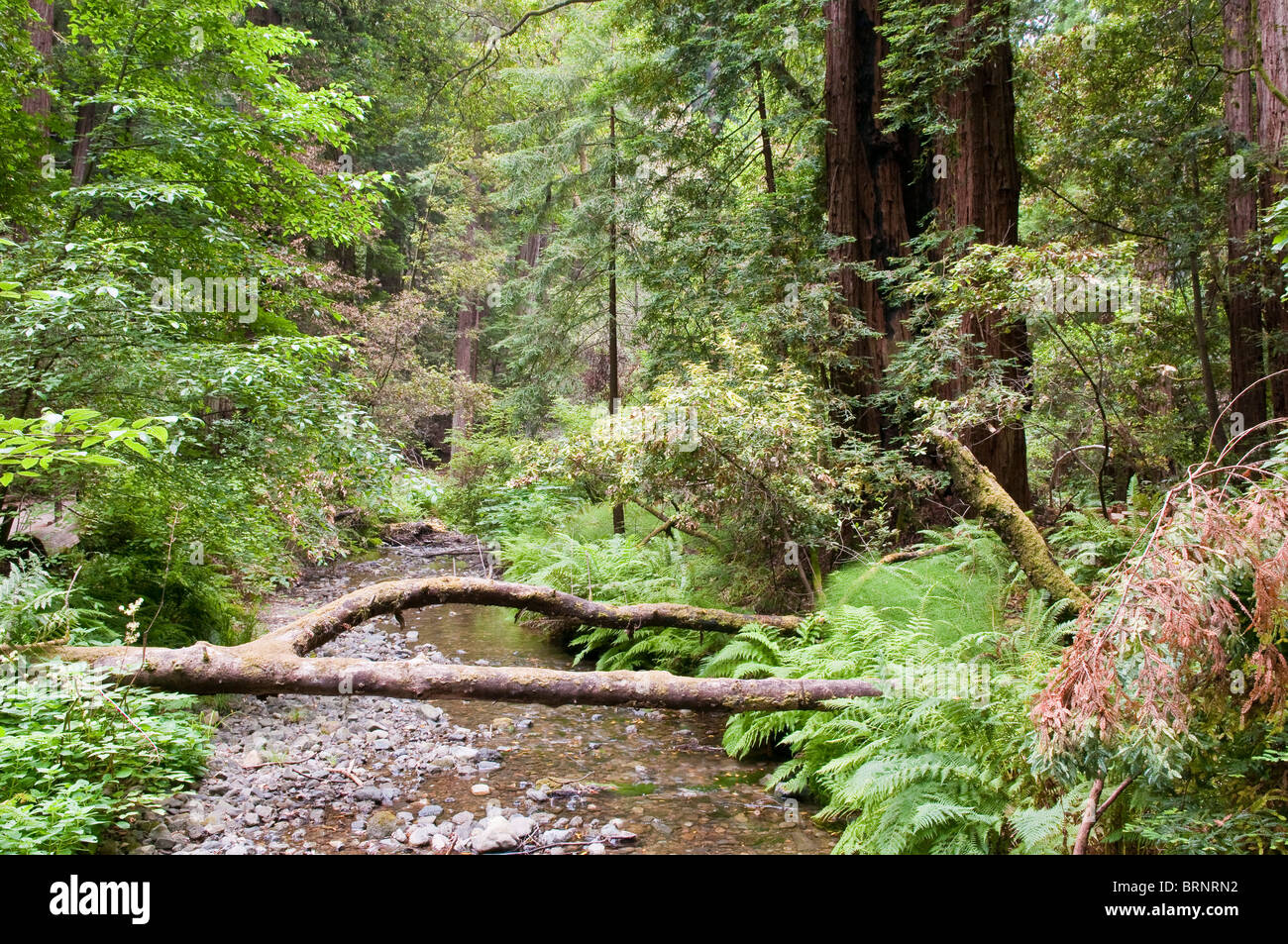 La vegetación costera y secoyas, Sequoia sempervirens, Parque Nacional Muir Woods, California, EE.UU. Foto de stock