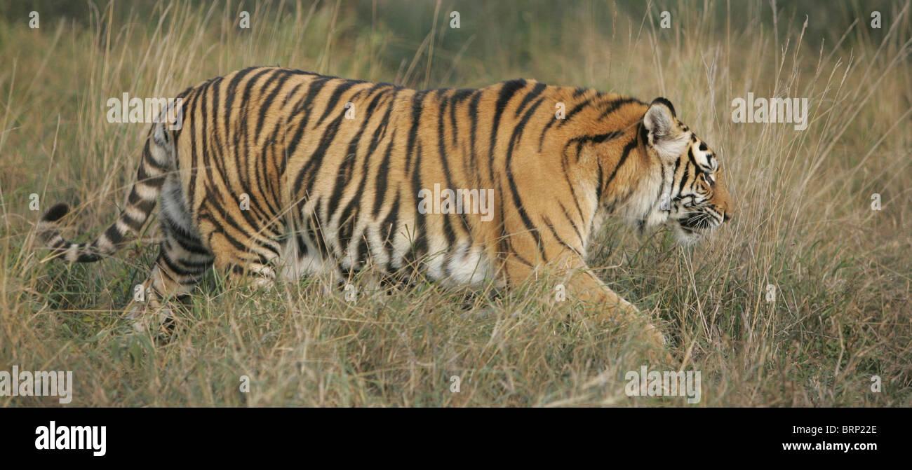 Vista lateral de un tigre de Amur caminando a través de pasto seco Imagen De Stock