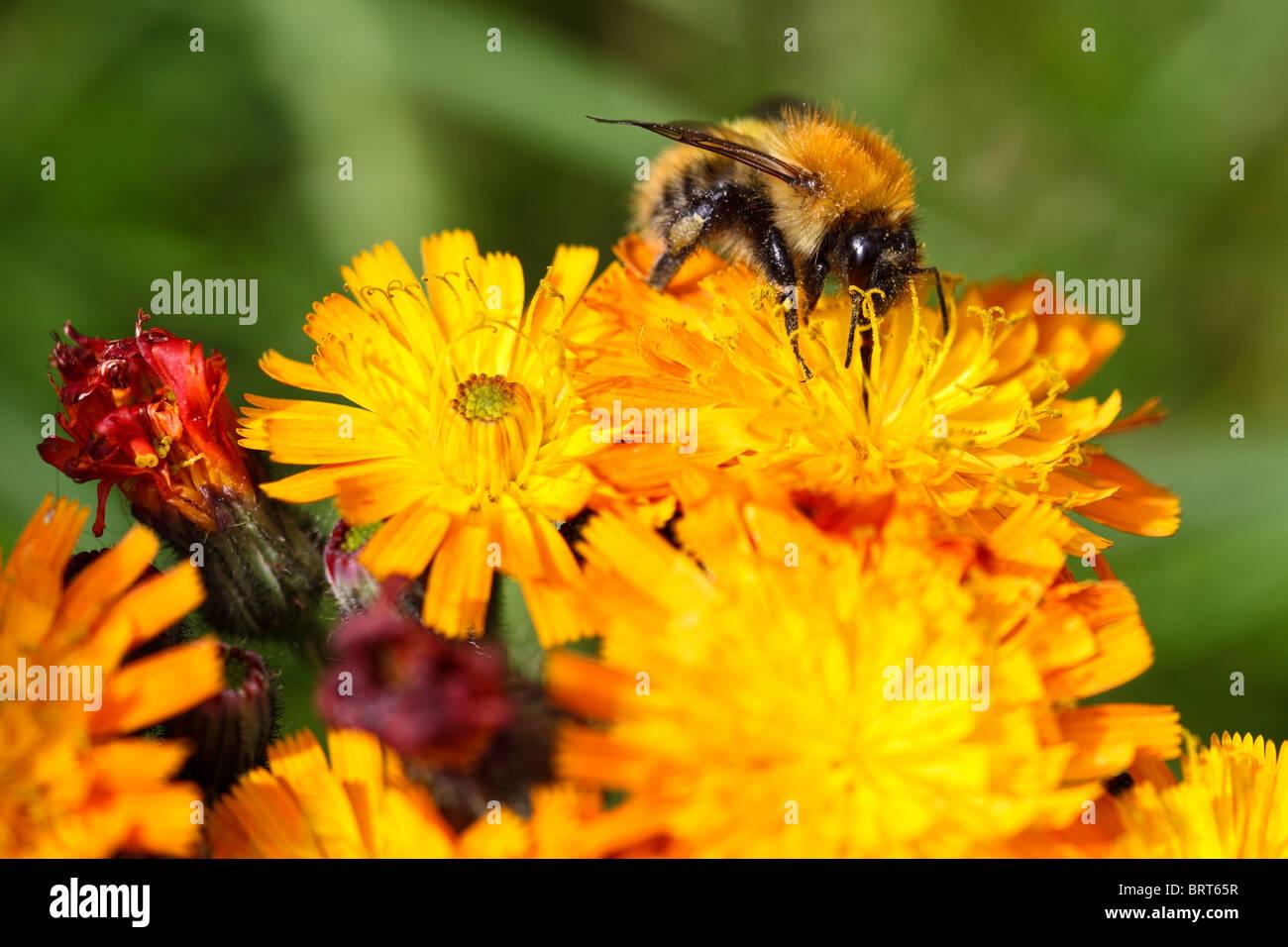 La abeja melífera recogiendo el néctar de las flores del jardín Montrose Scotland Foto de stock