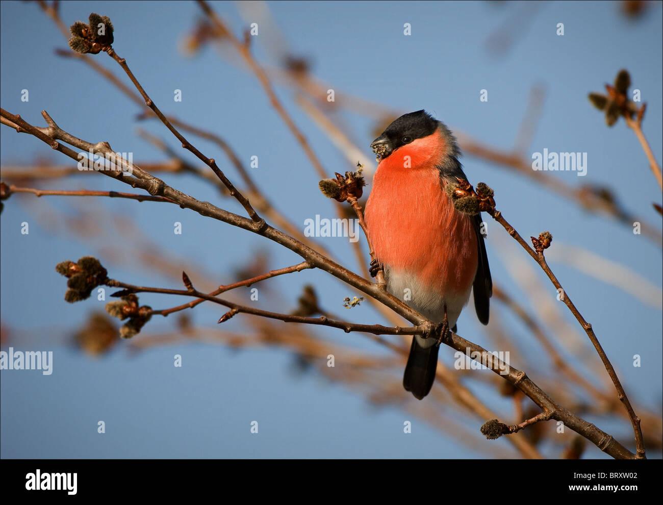 Bullfinch Foto de stock