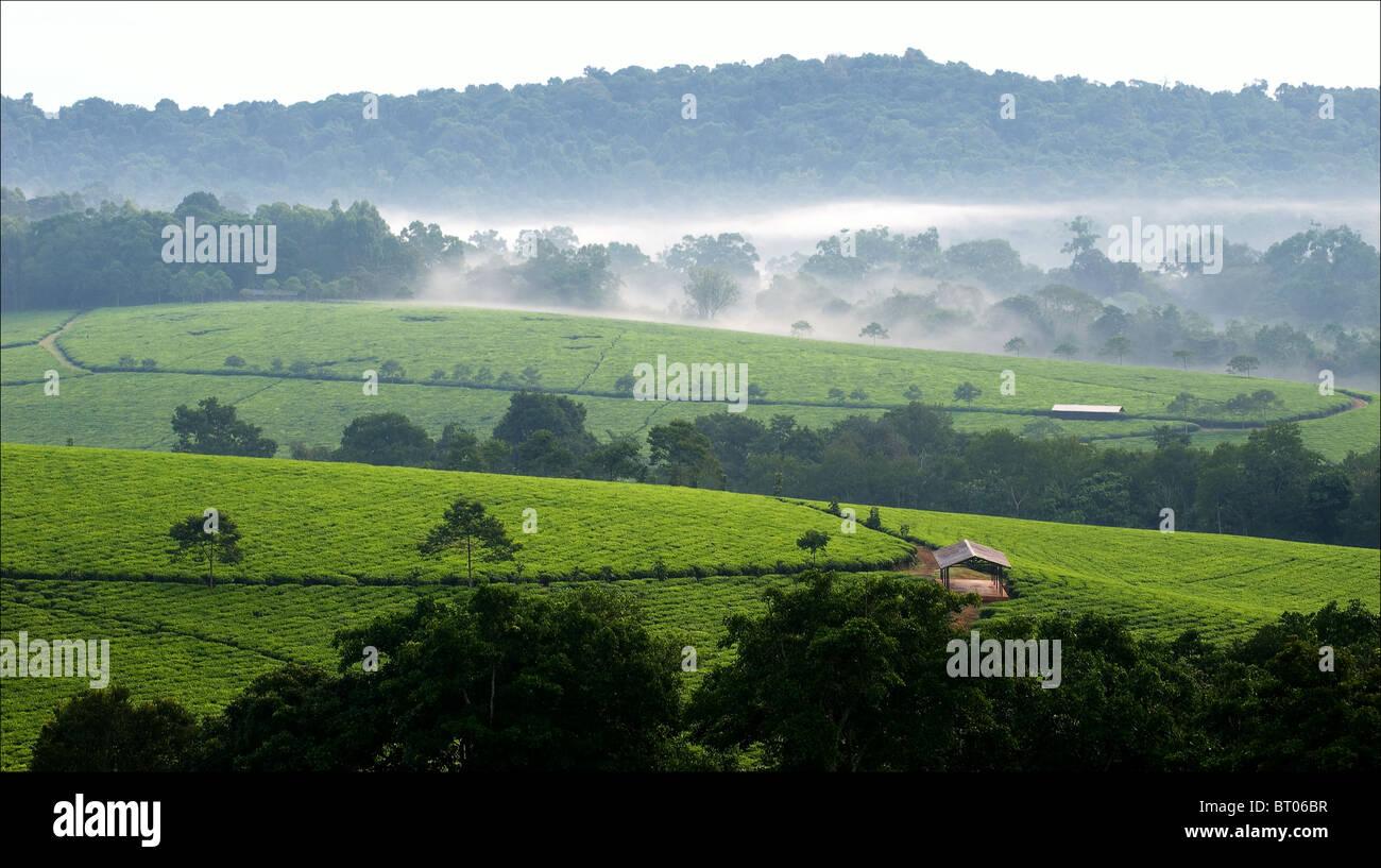Gris Niebla matutina a través de plantaciones de té Bwindi. Uganda. África. Imagen De Stock