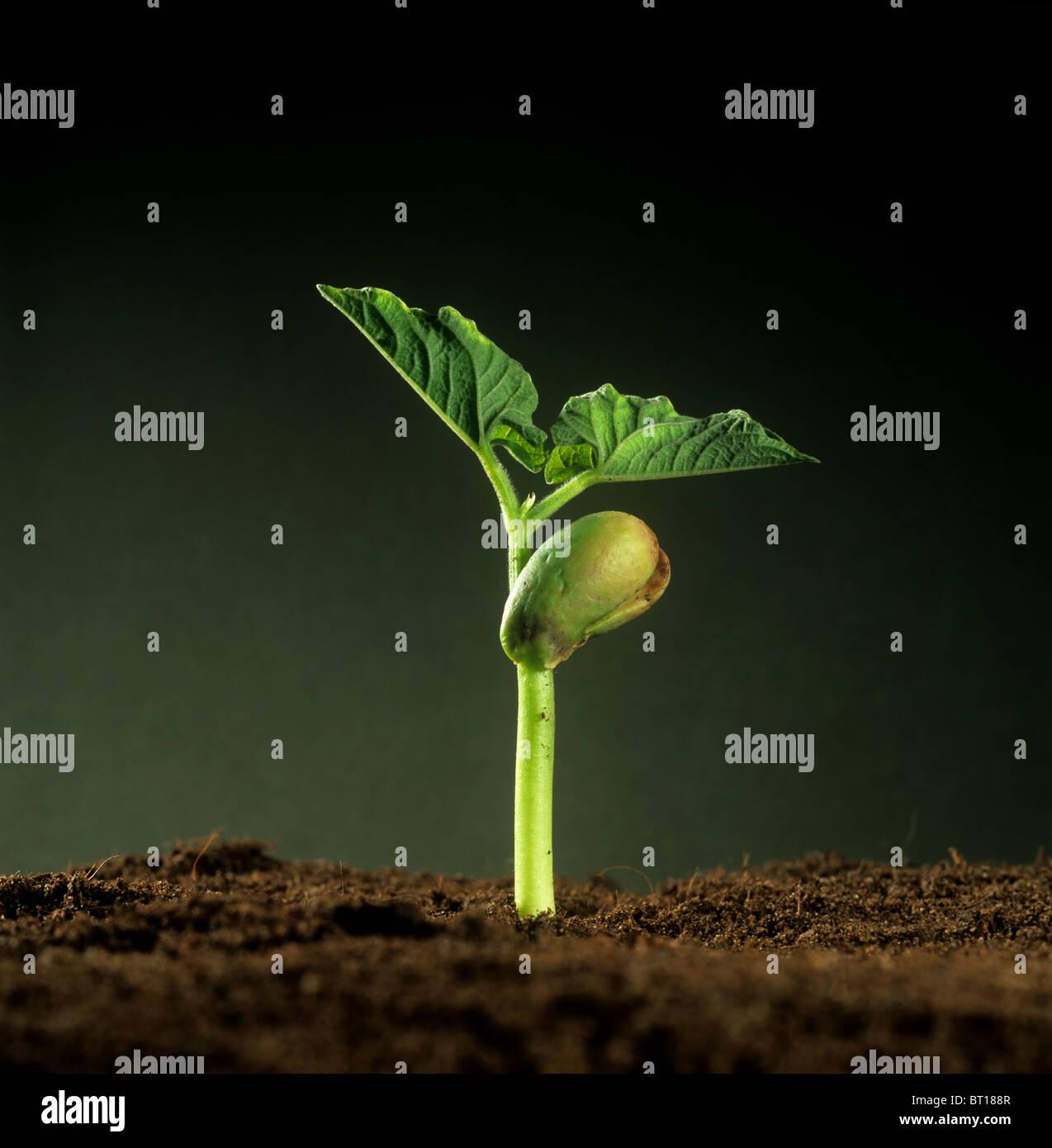 Green Bean (Phaseolus vulgaris) Plántula con cotiledón reserva de comida y primeras hojas verdaderas Imagen De Stock