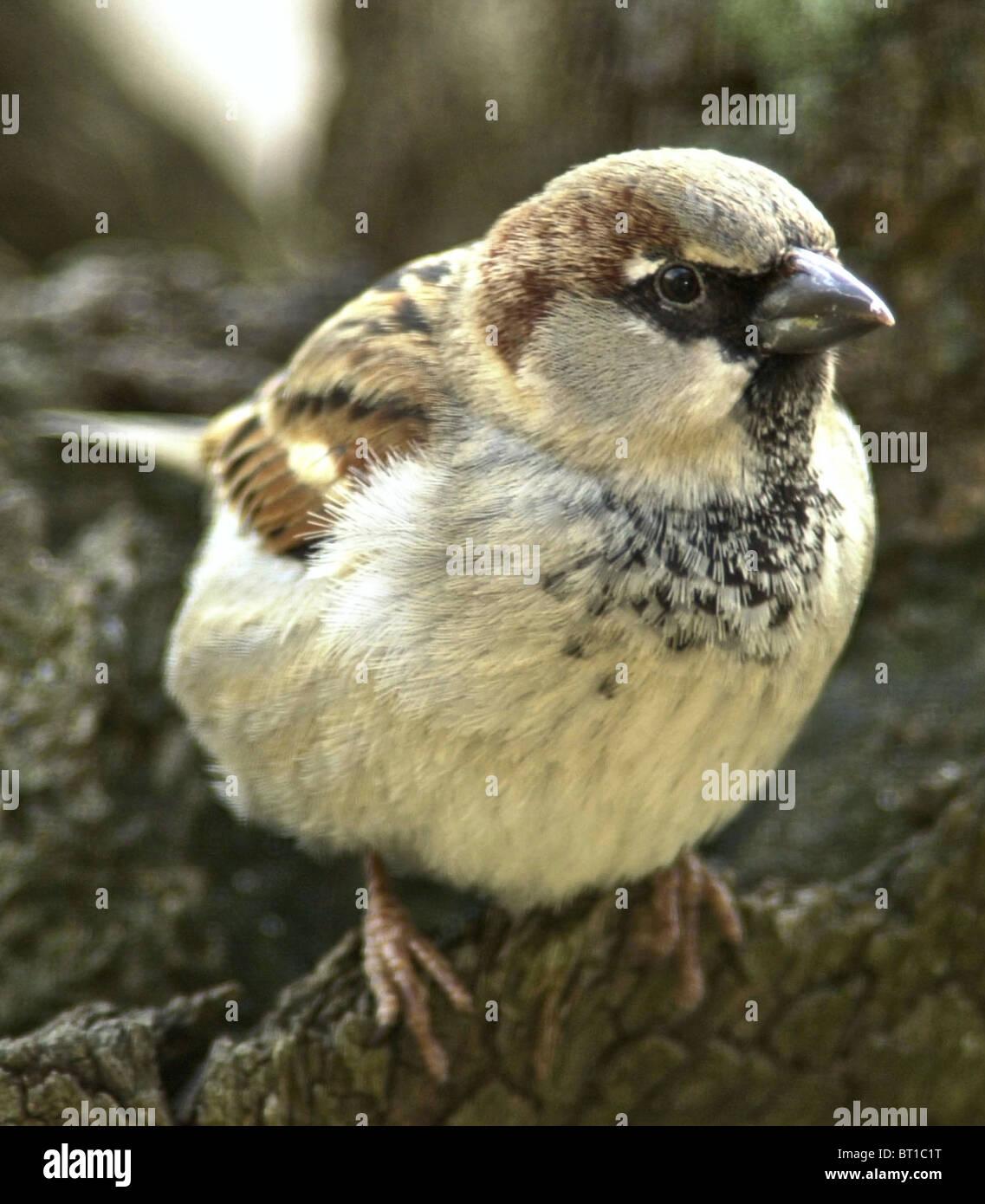 Gorrión gorrión (Passer domesticus) Bien amados pájaros británica ahora en serio declive. Los jóvenes varones. Foto de stock