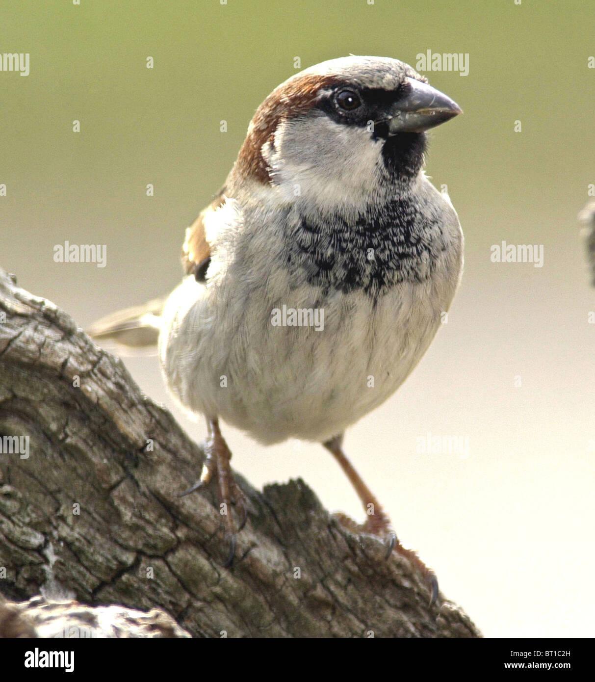Gorrión gorrión (Passer domesticus) Bien amados pájaros británica ahora en serio declive. Macho maduro. Foto de stock