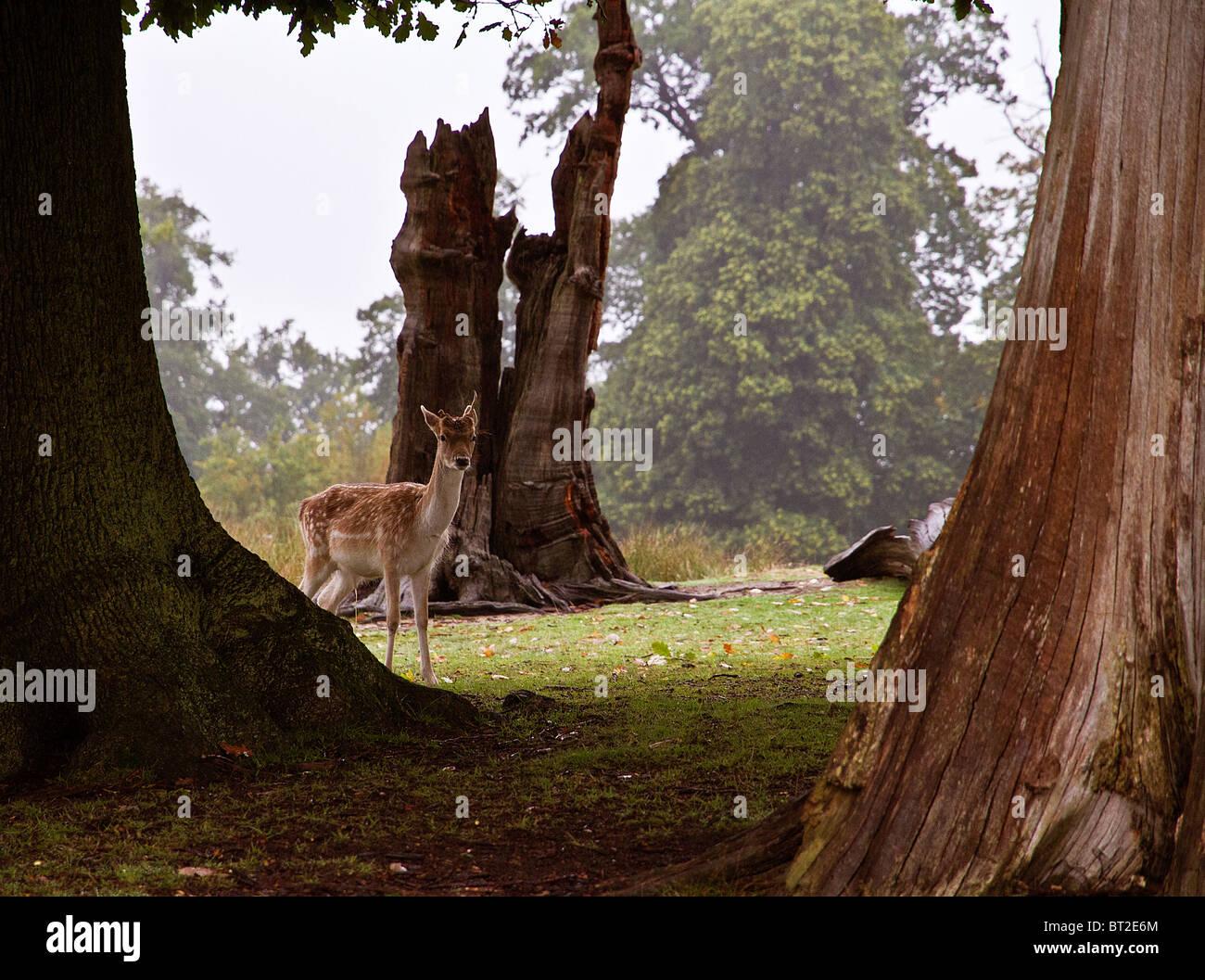 Una tímida Gamo pares a través de un grupo de árboles Imagen De Stock