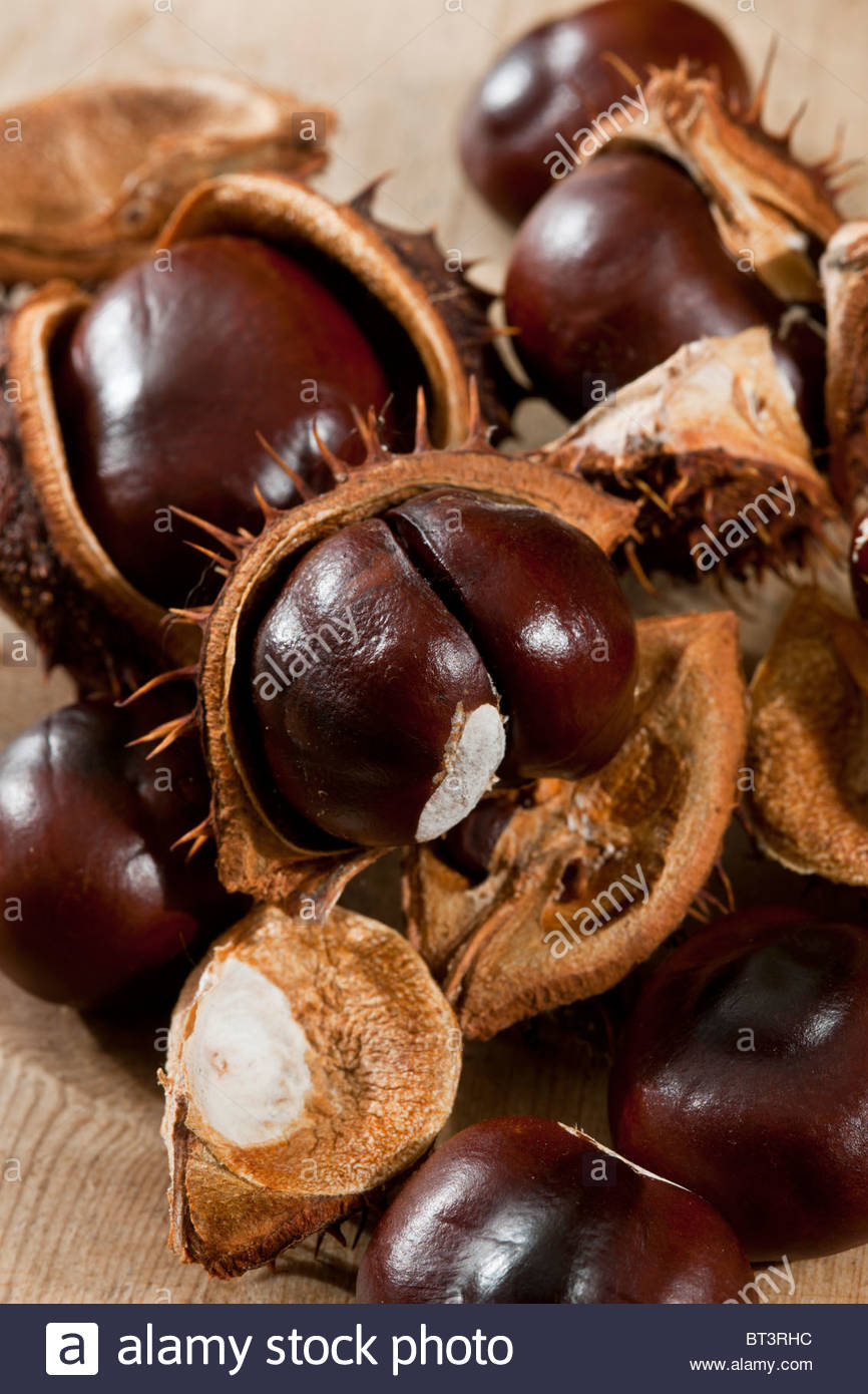 Conkers semillas semillas aún la vida tripas abrir shells Horsechestnut Aesculus hippocastanum otoño caída Imagen De Stock