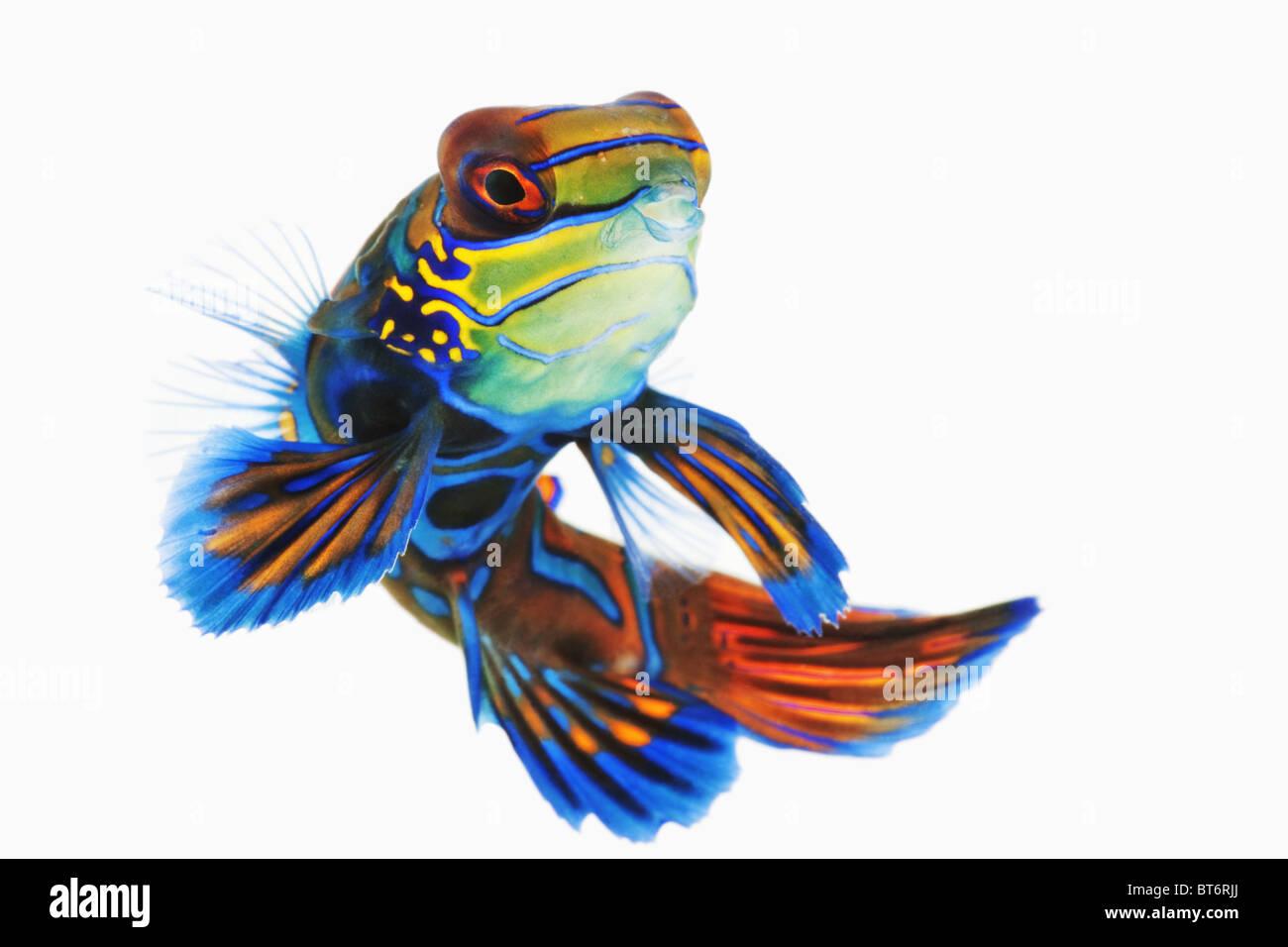 También conocido como azul manderin. Studio ha disparado contra un fondo blanco. Imagen De Stock