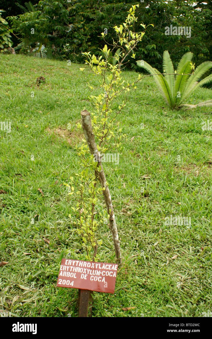Planta de coca desde que se elabora la cocaína, el Jardín Botánico de Lancetilla, Honduras. Imagen De Stock