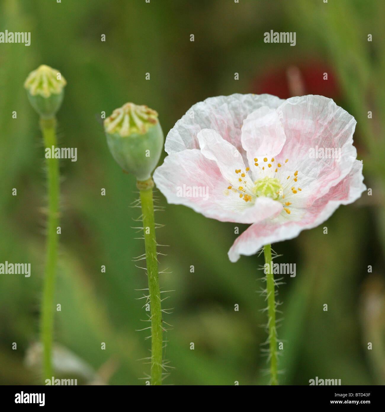 Poppy Like Flowers Imgenes De Stock Poppy Like Flowers Fotos De