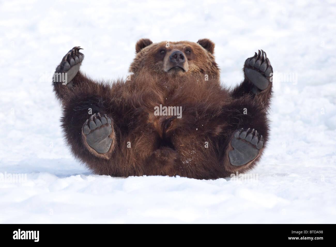 Una hembra adulta de oso pardo rollos en la nieve y mira hacia la cámara mientras se sientan sobre su espalda, Imagen De Stock