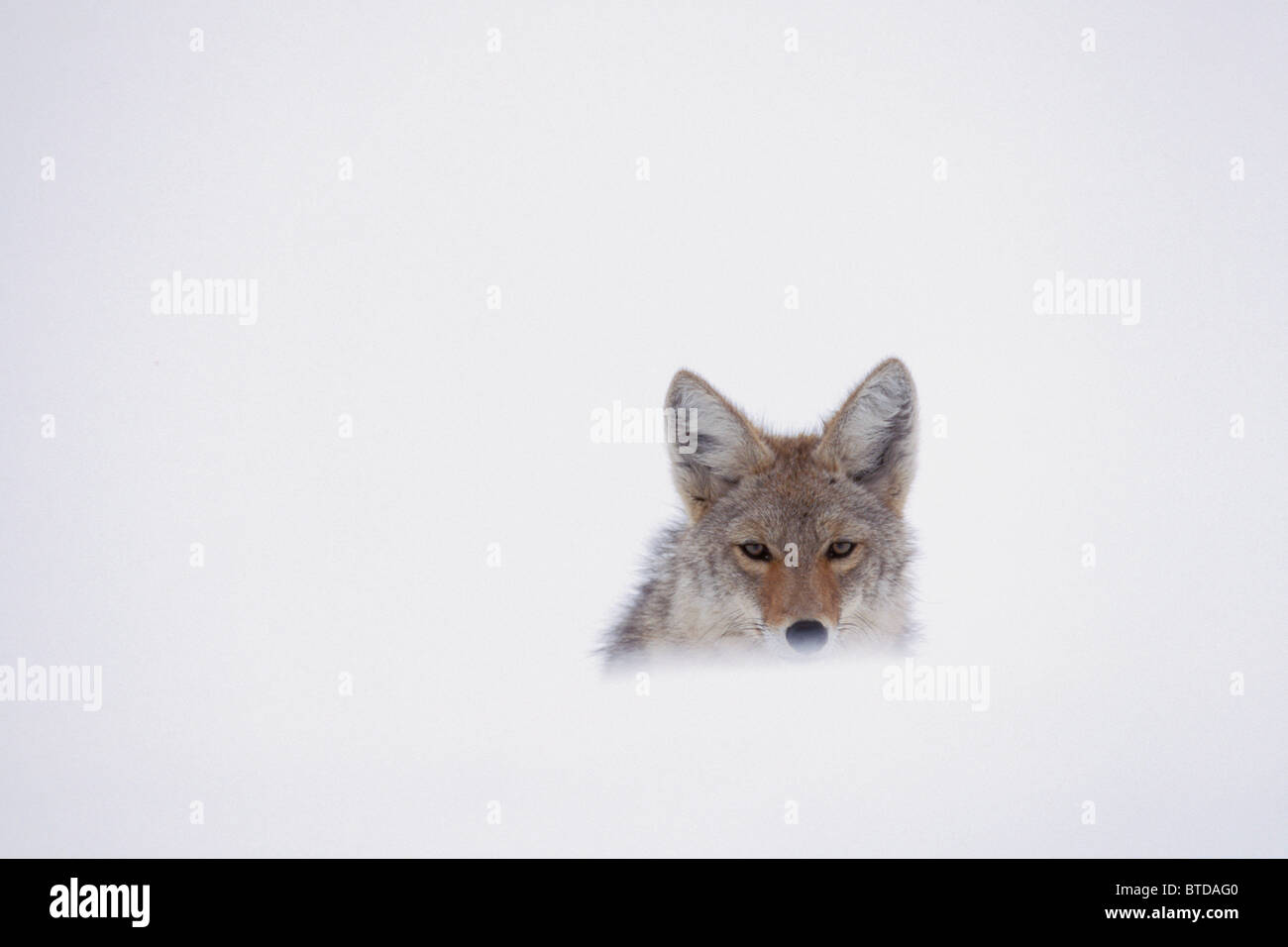 Coyote mirando sobre un Snow Drift, el Parque Nacional de Yellowstone, en Estados Unidos, el invierno Imagen De Stock